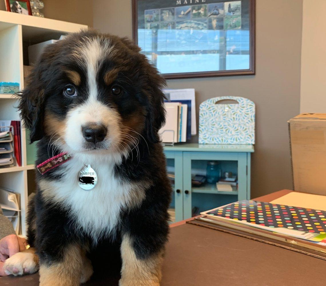 Harper the Bernese Mountain Puppy